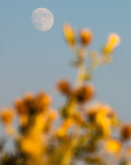 Moonrise and wildflowers