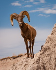 Bighorn sheep on rocks