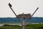 Ospreys at nest