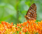 Aphrodite Fritillary on (aptly) Butterfly Weed