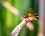 Eastern Amberwing on cattails