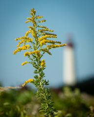 Goldenrod, Cape May Lighthouse