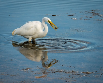 Great Egret with prey