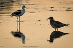 American Avocet (left)