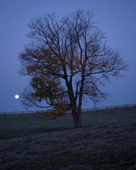 Lone tree, moonset