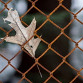 Leaf and fence