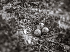 Killdeer nest