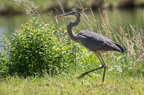 Great Blue Heron (juvenile) walking