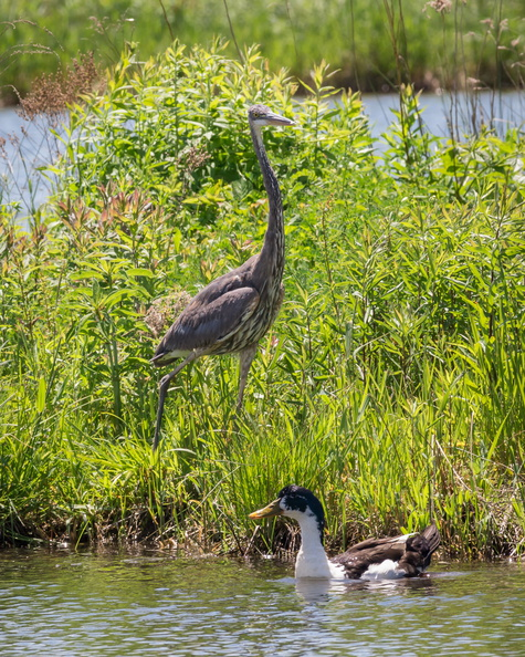 Great Blue Heron and Ugly Duck