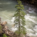 Tree, Johnston Canyon