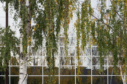 White Birch Reflection