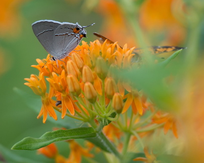 Gray Hairstreak on butterfly weed