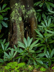 Tree with lichen and rhododendron