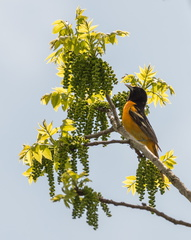 Baltimore Oriole feeding