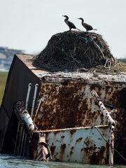 Double-crested Cormorants on shipwreck