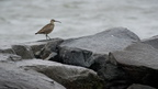 Whimbrel on jetty