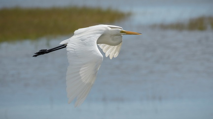 Great Egret over marsh