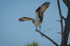 Osprey alighting with nest material