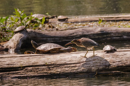 Green Heron with turtles