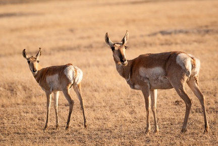Pronghorn doe and fawn