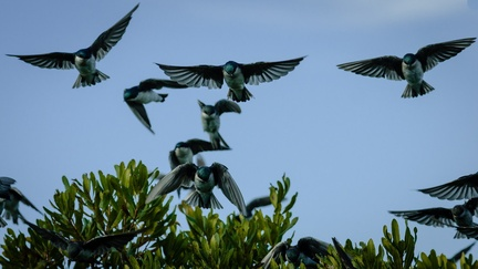 Tree Swallows flocking on a shrubbery