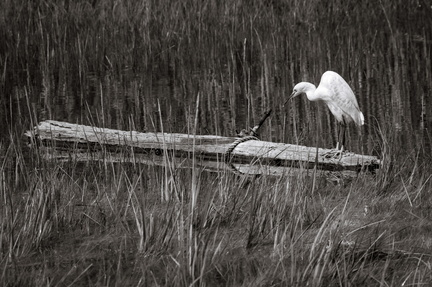 Snowy Egret on log