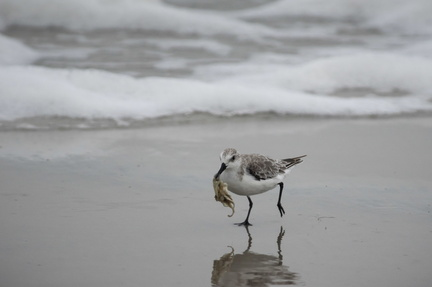 Sanderling with ghost crab